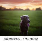 Young Silver Lab