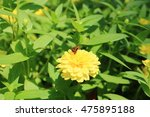 Yellow Zinnia Bloom With...