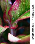 Small photo of Low key lighting Nature background, Red Aglaonema leaf in natural light and shadow and selective focus water drop on Red Aglaonema leaf