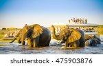 african elephants swimming... | Shutterstock . vector #475903876