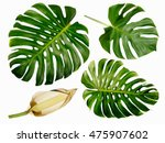 monstera miltiple leaves with... | Shutterstock . vector #475907602