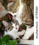 Mother Cat Nurturing Kitten