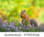Red Squirrel In The County Of...