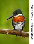 Small photo of Beautiful bird. Amazon Kingfisher, Chloroceryle amazona, portrait of green and orange nice bird in Costa Rica. Kingfisher from tropic forest. Portrait of beautiful bird from Peru Amazon, America