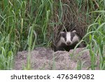 badger comes out of the hole.... | Shutterstock . vector #476349082