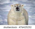 Polar Bear of Norway looking straight at camera