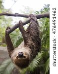young hoffmann's two toed sloth ... | Shutterstock . vector #476491462