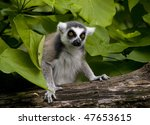 Ring Tailed Lemur On Log Is...
