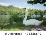 Two Young Swan Near Their...