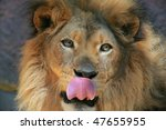 Big Male Lion With Tongue Out