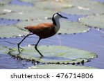 Small photo of African jacana plod along on water plants chasing small insects to eat