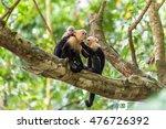 Capuchin Monkey On Branch Of...