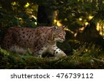 lynx in the forest. wild cat...   Shutterstock . vector #476739112