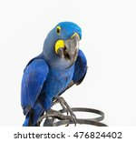 Hyacinth Macaw Isolated On...