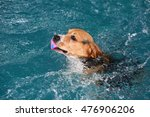 young beagle dog swimming in... | Shutterstock . vector #476906206