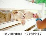 Sheep Feeding. Close Up Hand...