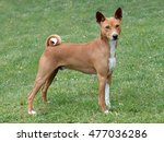 typical basenji dog in the... | Shutterstock . vector #477036286