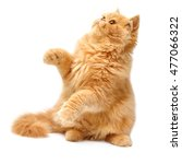 Stock photo beautiful red haired kitten playing paws persian cat isolated on white background 477066322