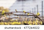 Buds Of Vines In The Spring....