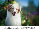 show dog portrait of australian ... | Shutterstock . vector #477423346