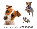 Stock photo cute and energetic jack russell terrier dog set of images isolated on a white background 477508342