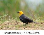 Male Yellow Headed Blackbird I...