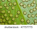 Underside Of A Fern Leaf