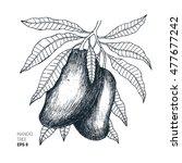 mango tree vintage illustration....   Shutterstock .eps vector #477677242