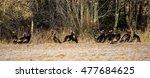 A Flock Of Wild Turkeys On A...