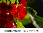 red currant branch with berries ... | Shutterstock . vector #477744775