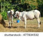 Small photo of The cows and straw ,cattle breeders ,Insemination of cattle breeders.The cattle in the countryside.