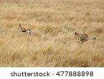 Stock photo cheetah hunting a thomson gazelle 477888898
