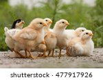 a group chick at farm.  | Shutterstock . vector #477917926