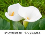 A Pair Of Stunning Calla Lily...