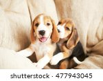 Stock photo beagle puppy playing at home on a hardwood floor place for text 477943045