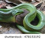 Snake Eating Rat For Lunch