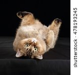 Stock photo funny fat cat lying on his back 478193245