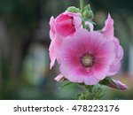 The Pink Hollyhock Alcea Rosea...