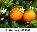 Two Oranges With Blossom...