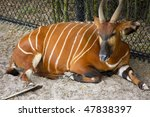 Bongo At The Jacksonville Zoo...
