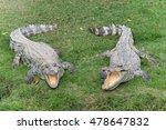 Two Freshwater Crocodiles Has...