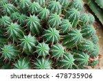 pincushion euphorbia  euphorbia ... | Shutterstock . vector #478735906