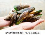 Hands holding fresh New Zealand green-lipped mussels - stock photo