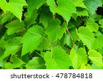 Grape Leaves  In Latin Vitis  ...
