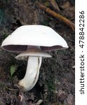 Small photo of Agaricus xanthoderma poisonous mushroom.