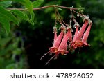 Pink Rhododendron Flower In...