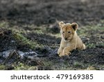 Small photo of Lioness cub posing like adult