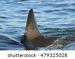 shark fin above water. closeup... | Shutterstock . vector #479325028
