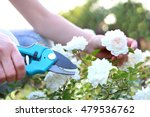 Stock photo pruning roses ground cover gardener pruning shears cut shrubs roses 479536762