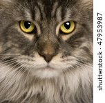 Close Up Of A Maine Coon  2...